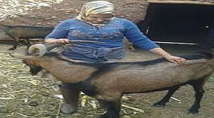 ورزازات: مشروع دعم المرأة  القروية بجماعة امرزكان من خلال توزيع  رؤوس الماعز على العائلات
