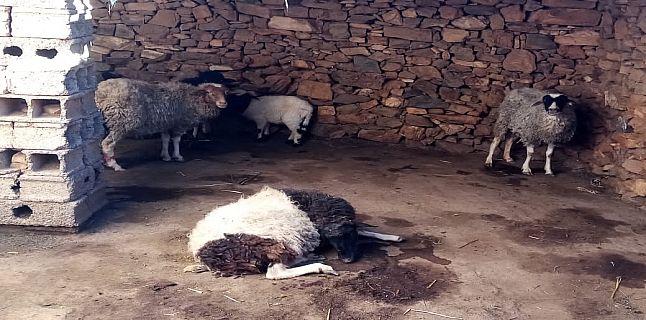 سيدي افني.. كلاب ضالة تهاجم قطيعا من الماشية بأيت الرخا + صور.