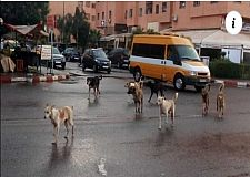 استجابة لشكايات السكان الشروع في الحد من تناسل الكلاب الضالة بقلعة السراغنة
